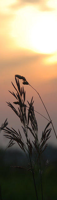 Sunset in the grasses