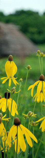 Black-eyed Susan at Sunwatch