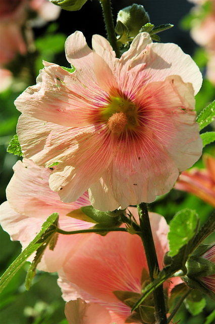 kme -peach hollyhock-home