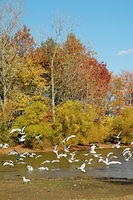 kme -fall trees by lake w:sea gulls: Cortland, OH park
